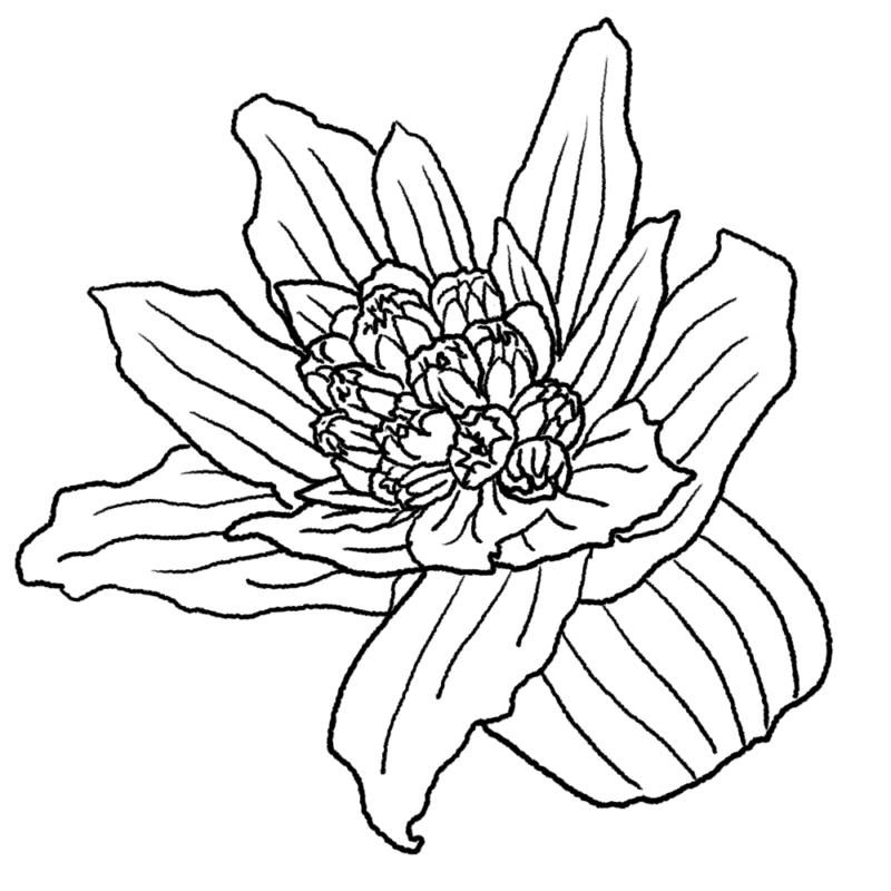 フキノトウのイラスト(ぬり絵)
