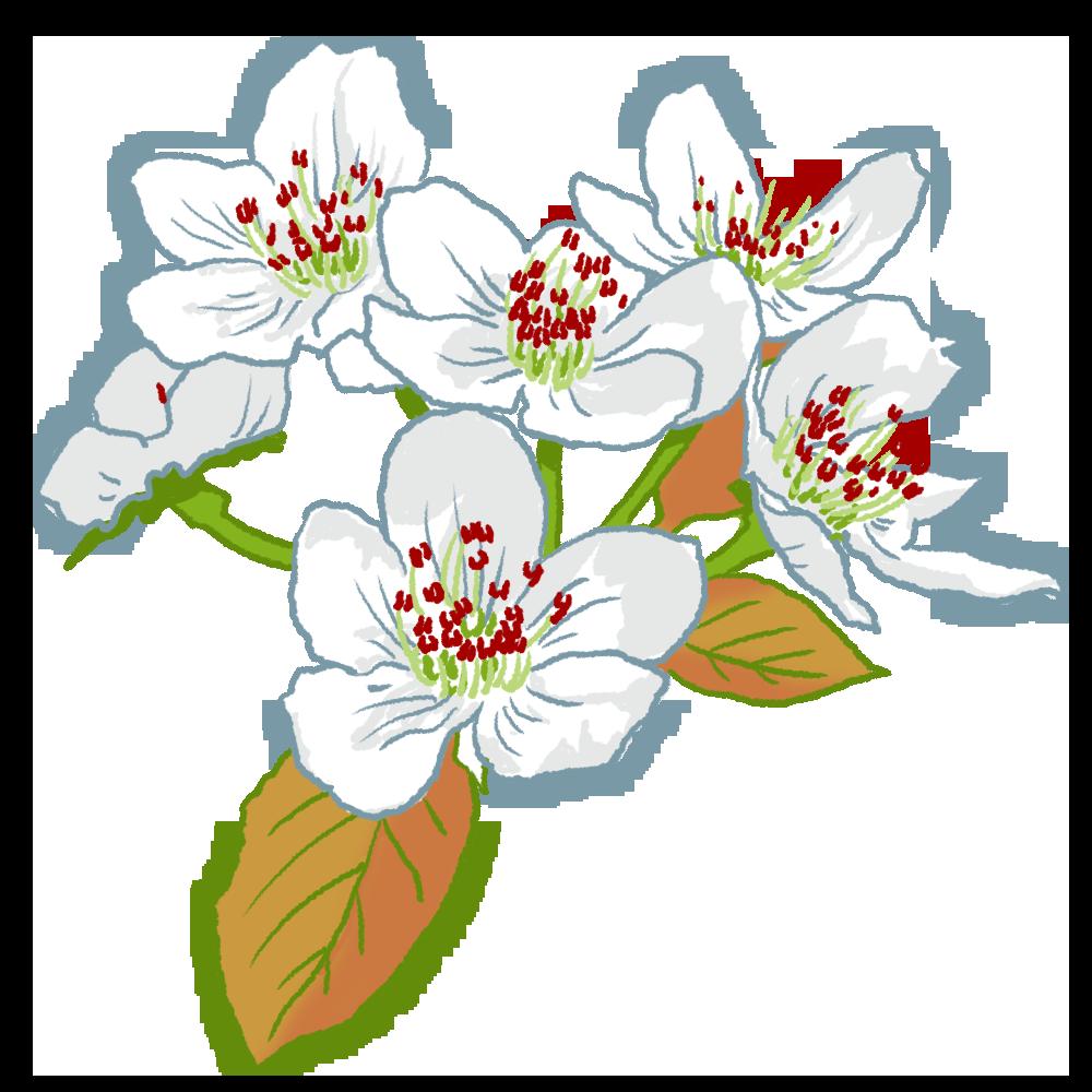 二十世紀梨の花のイラスト