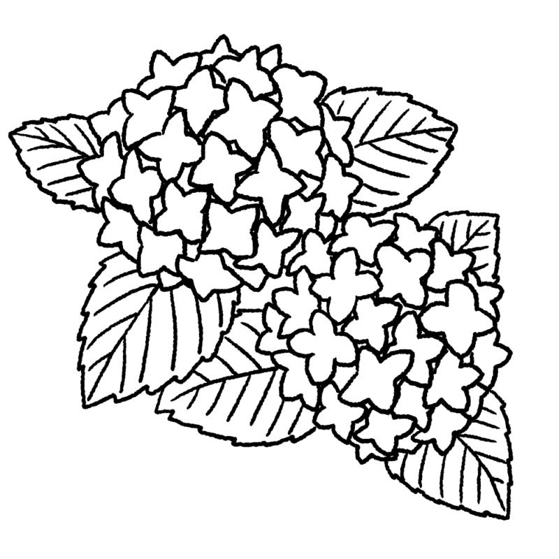 紫陽花のイラスト(ぬり絵)
