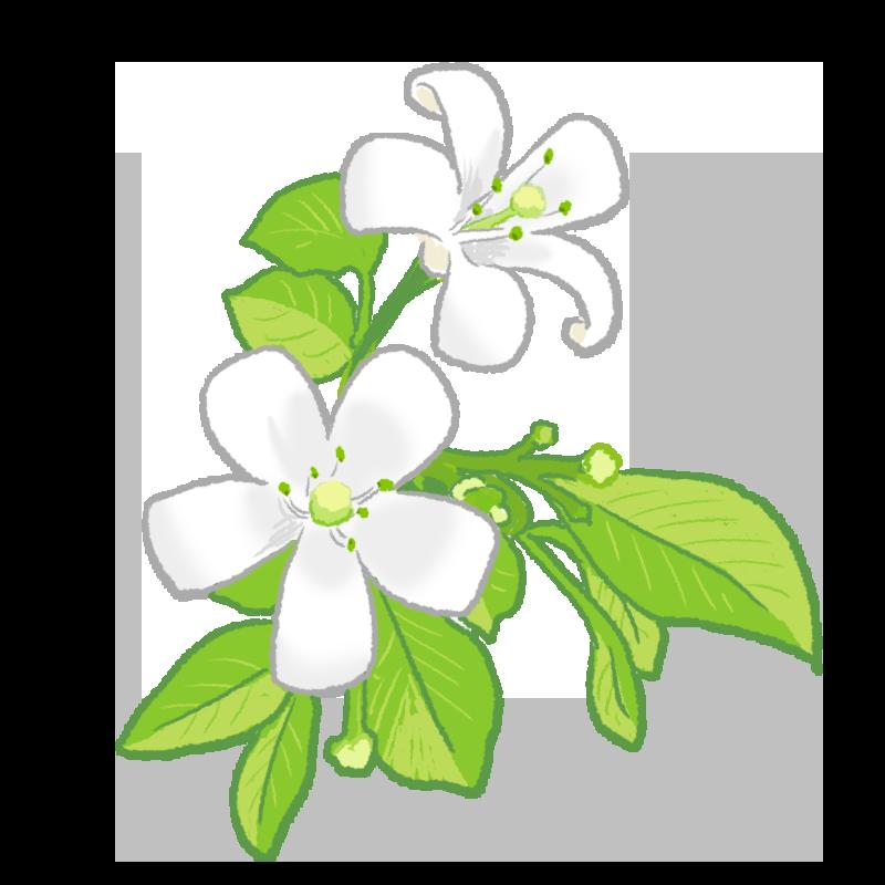 ジャスミンの花のイラスト