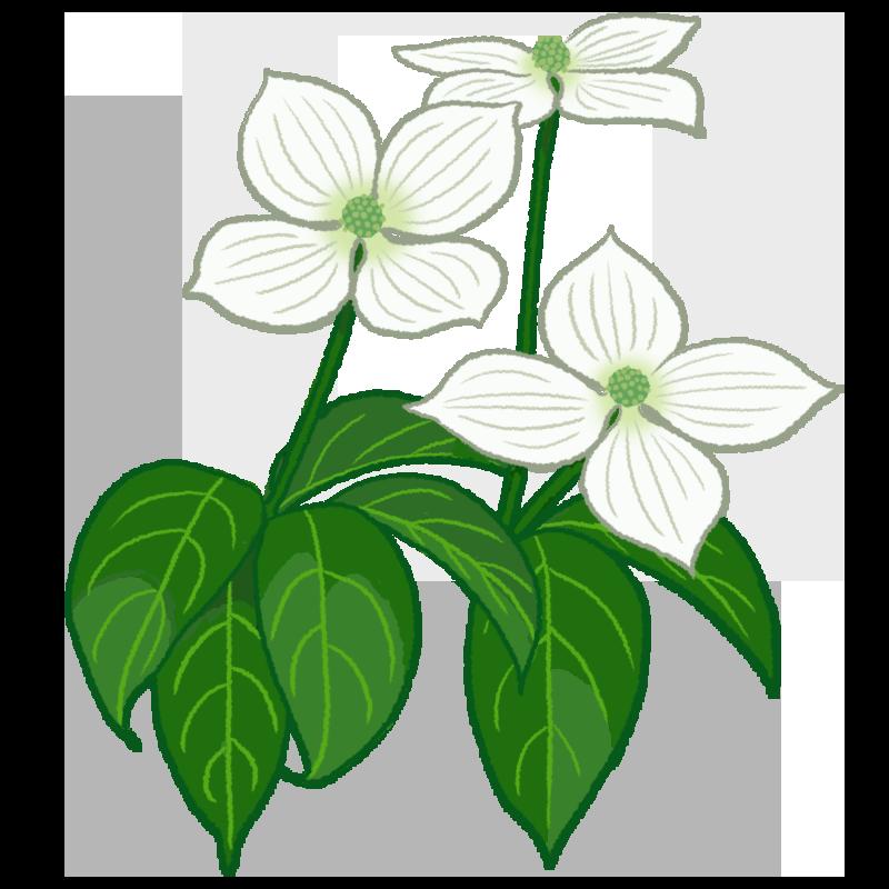 ヤマボウシの花のイラスト